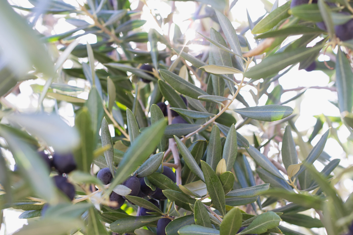 olives-part-one-2