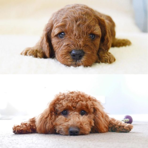 Jasper the red cavoodle puppy